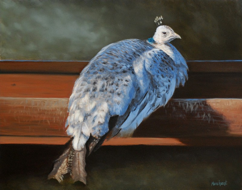 Rustic Elegance - White Peahen, Oil on Panel, 11x14, 2012.